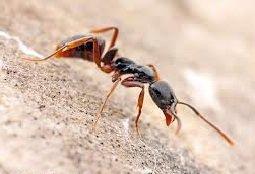 Муравьи - война среди муравьиных видов