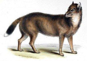 Фолклендский волк