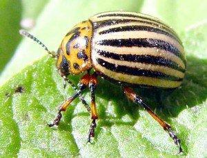 Кого боятся колорадские жуки