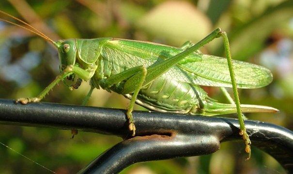 Кузнечик тетигония зеленый – описание, фото и видео
