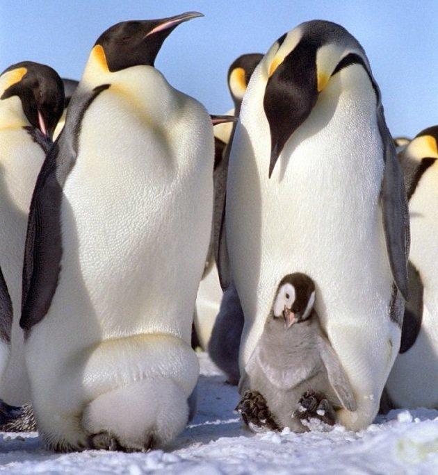 Пингвины не летающие птицы Антарктиды