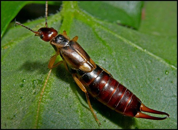 Уховертки – описание насекомого, фото и видео
