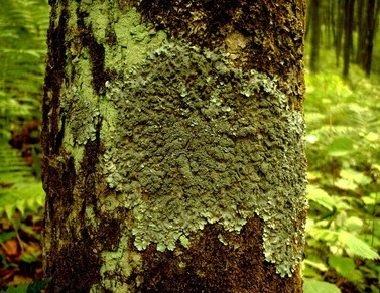 Лишайники — происхождение, эволюция и экология