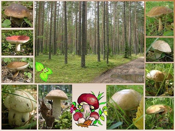 Время и сроки появления грибов в лесу