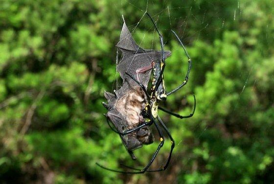 Об огромных пауках — которые охотятся на летучих мышей
