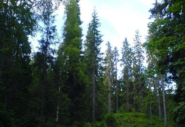 Растительный мир Североевропейской тайги