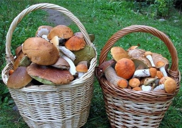 Советы грибникам - начинающим и бывалым