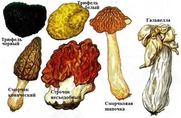 Сумчатые грибы - трюфели, сморчки, строчки, спорынья
