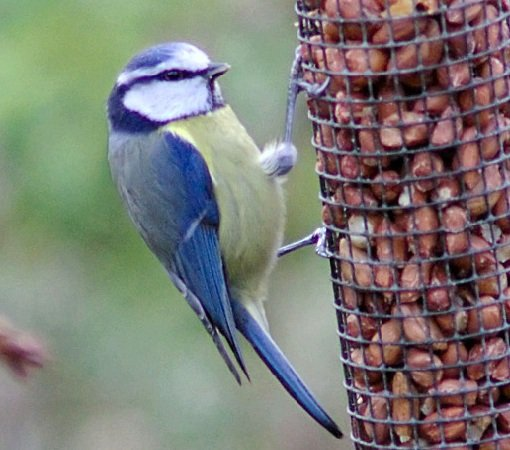 Голубая синица — воинственная птица!