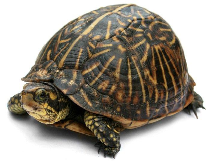 Как появился у черепахи панцирь