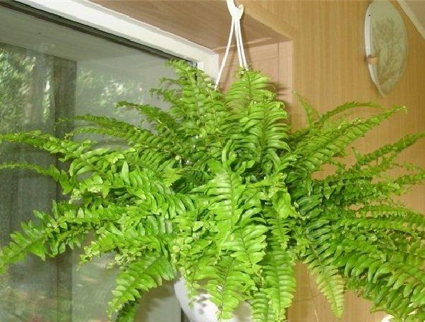 Неприхотливые комнатные растения - фото Нефролепсис