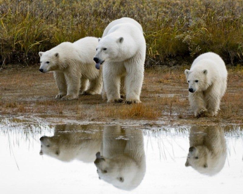 Белые медведи в современном климате