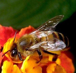 Как нектар превращается в мед