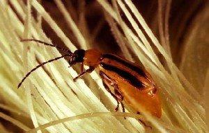 Эволюция насекомых против биотехнологий