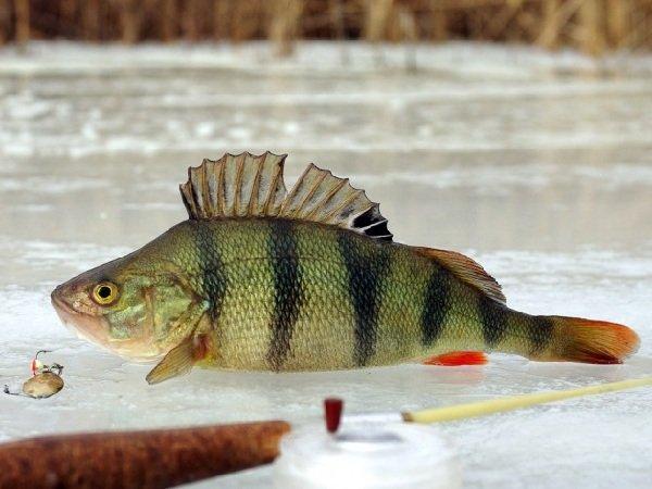 Зимняя рыбалка на окуня крупного