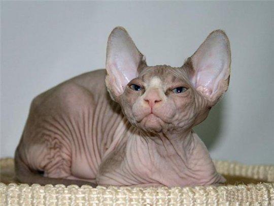 Самые дорогие кошки планеты - сфинкс