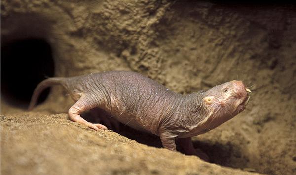 Необычное поведение животных - голый землекоп ...