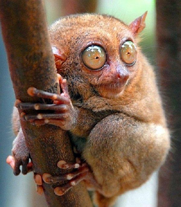 Глаза животных фото - долгопят