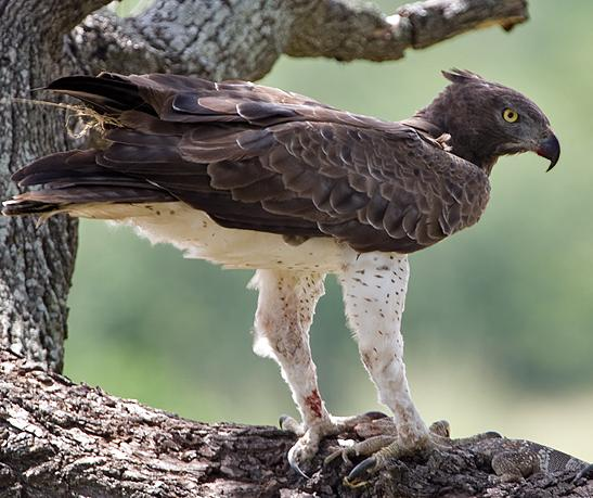 Хищные птицы фото самых страшных - Венценосный орел