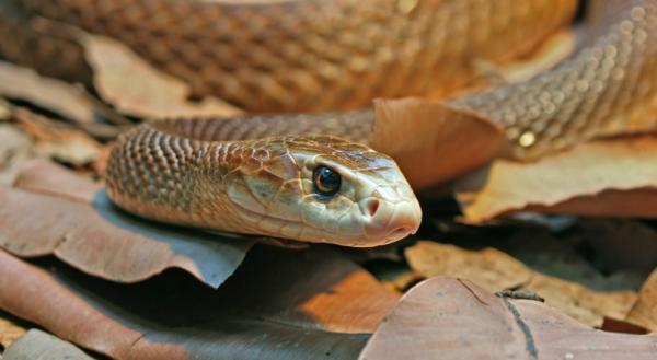 Самые ядовитые змеи в мире - тайпан