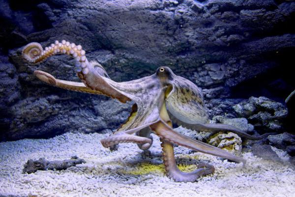 Самые умные животные в мире фото - Осьминоги