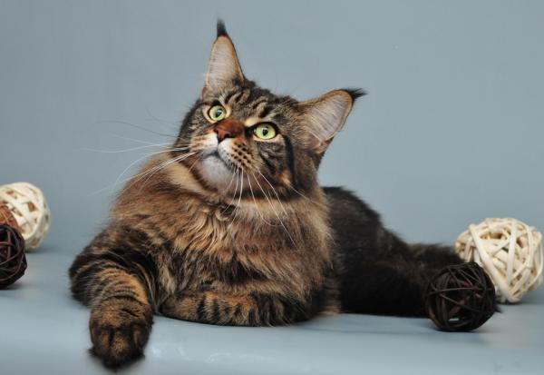 Самые красивые кошки фото - Мэй-кун