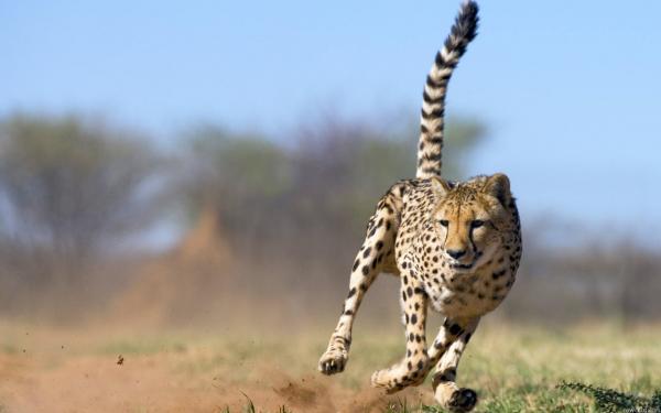 Самые быстрые животные в мире фото - гепард