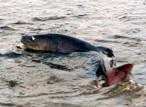 Самые большие пресноводные рыбы