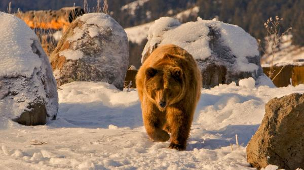 Бурых медведей запретят добывать на Алтае с 1 декабря