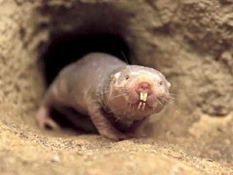 Подземные животные - кто живет под землей фото - голый землекоп