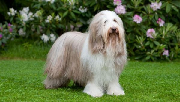 Самые дорогие собаки фото - Бородатая колли