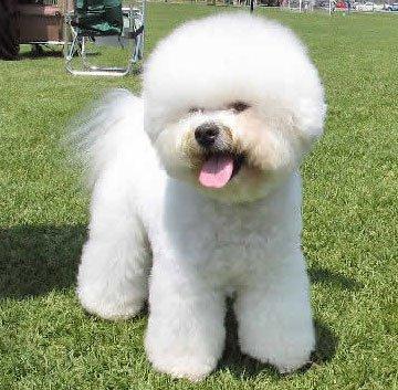 Самые дорогие животные фото - Львиная собака