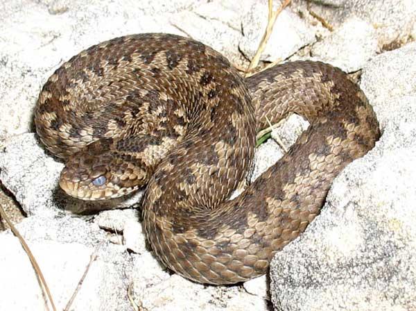 Самые большие змеи фото - Гюрза