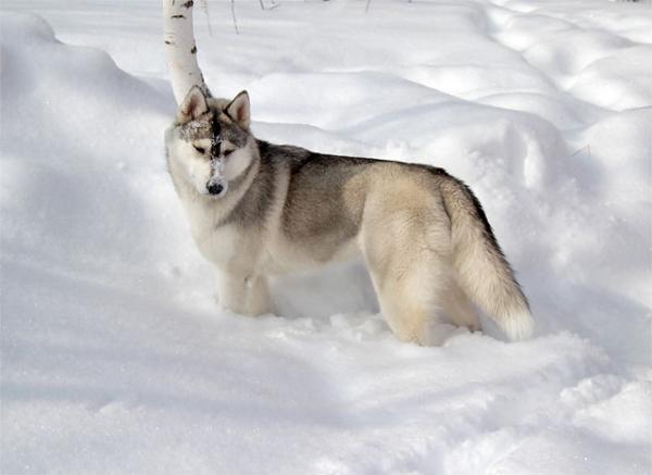 Самые злые собаки в мире фото - Хаски