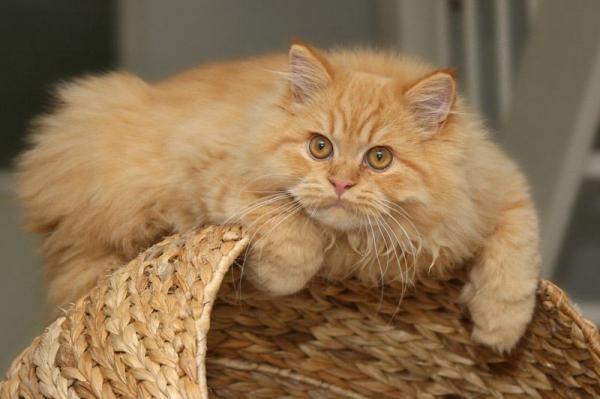 Самые красивые кошки фото - Персидская кошка