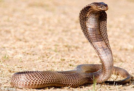 Самые опасные животные в мире фото - Кобра