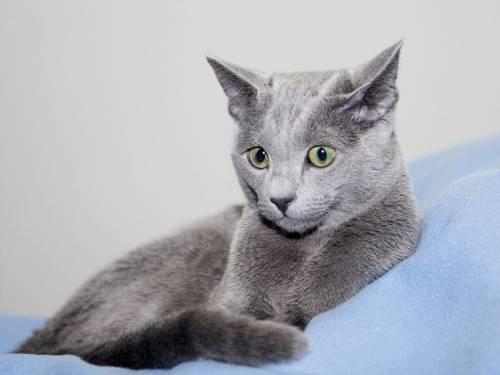 Самые дорогие кошки - русская голубая кошка