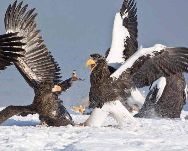Самые большие птицы в мире фото - Белоплечий орлан