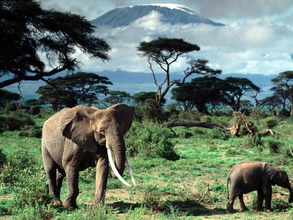 Необычное поведение животных - у слонов ...