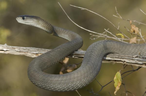 Самые ядовитые змеи в мире - черная мамба