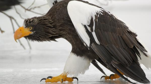 Хищные птицы фото самых страшных - Белоплечий орлан