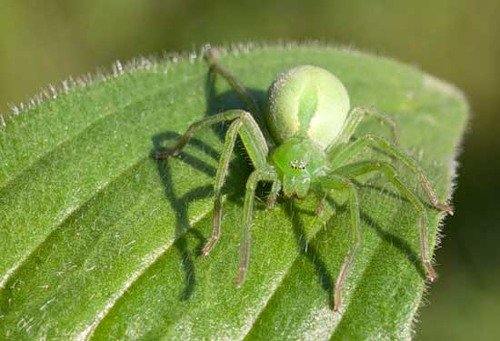 Самые ядовитые животные в мире фото - банановый паук
