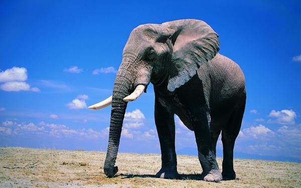 Самые умные животные в мире фото - Слоны