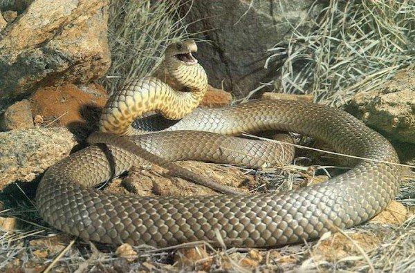 Самые большие змеи фото - Восточная коричневая змея