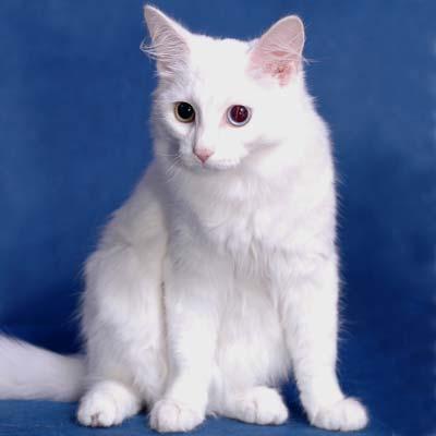 Самые красивые кошки фото - Турецкая ангора