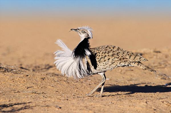 Самые большие птицы в мире фото - Дрофа
