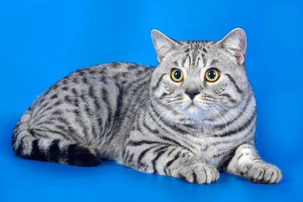Самые дорогие кошки фото - Британская короткошерстая кошка