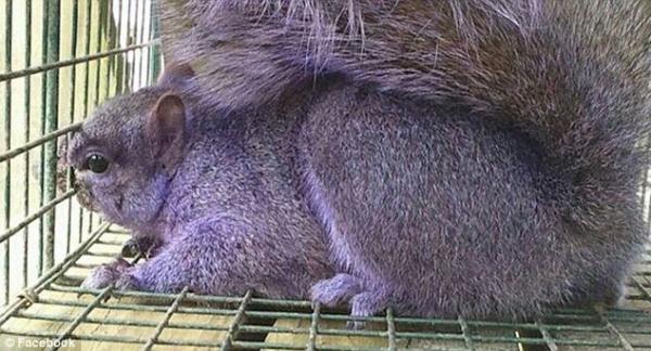 Необычный окрас животных фото - фиолетовая белка