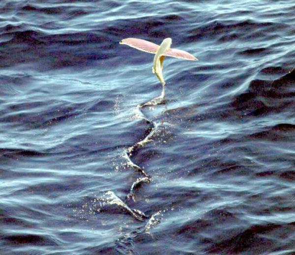 Летающие животные фото - Летающие рыбы