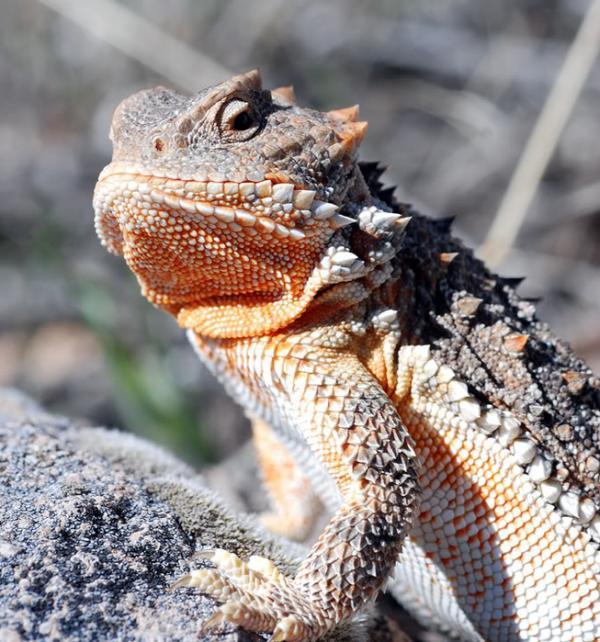 Необычное поведение животных - у рогатых ящериц ...
